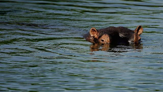 A hippopotamus in Crocodile River near Kruger National Park in Mpumalanga, South Africa.