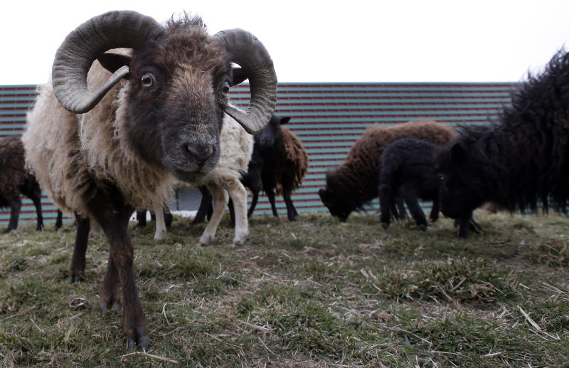 In this photo dated Thursday, April 4, 2013, sheep used in replacement of lawn mowers graze the lawns at a truck warehouse at Evry, south of Paris. Paris is enlisting the help of a small flock of sheep to keep the city's grass trim to replace gas-guzzling lawnmowers. (AP Photo/Francois Mori)