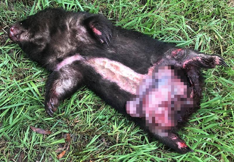 The wombat was seriously injured and its bowel was perforated. Source: Waratah Wildlife Shelter