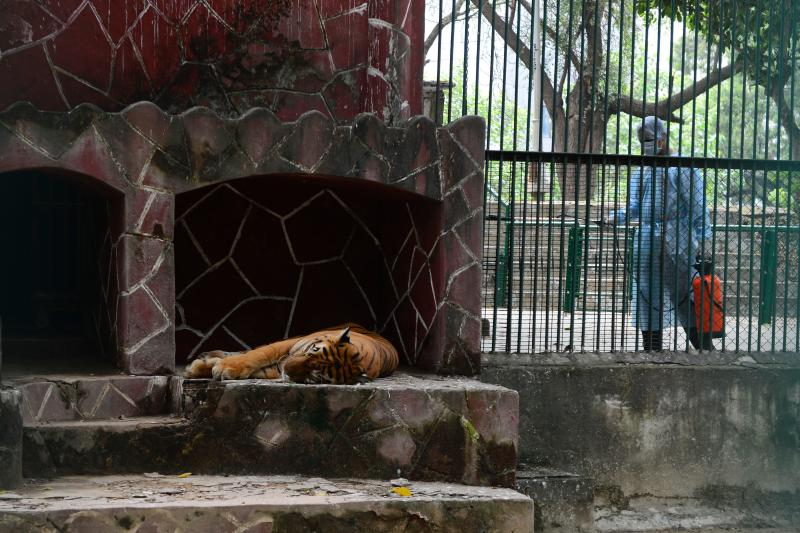 A Royal Bengal tiger rests as a health worker wearing Personal Protective Equipments (PPE) suit (R) sprays disinfectants at the Kamla Nehru Zoological Garden in Ahmedabad on September 11, 2020. (Photo by SAM PANTHAKY / AFP) (Photo by SAM PANTHAKY/AFP via Getty Images)