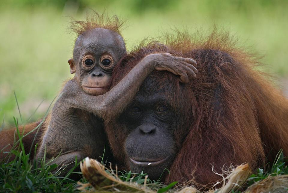 A baby orangutan clings onto its mother in Tanjung Hanau, Central Kalimantan, Indonesia. The rapid expansion of palm oil production in the country destroys the orangutans' habitat. (Photo: AP Photo/Dita Alangkara)