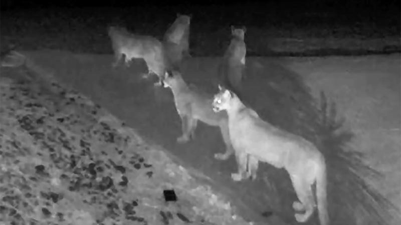 Rare picture shows five mountain lions together in California