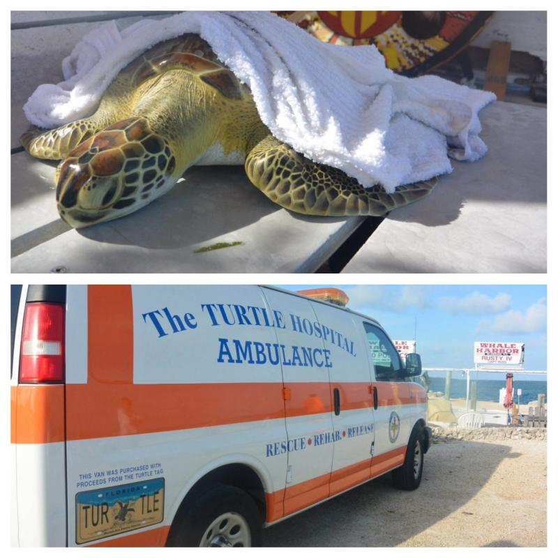 """The Turtle Hospital -- located in Marathon, a city in the Florida Keys -- rescues over 100 turtles a year and has three """"turtle ambulances"""" for its rescue missions. All of its turtles survived Hurricane Irma. (Eleanor Goldberg/HuffPost)"""