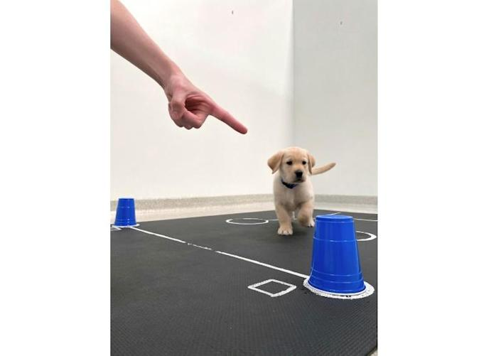 """""""Puppy, look!"""": The study showed that puppies had a far higher success rate in finding treats when a human pointed at them"""