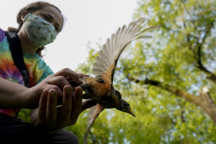 """Avian ecologist and Georgetown University Ph.D. student Emily Williams releases an American robin after gathering data, Wednesday, April 28, 2021, in Cheverly, Md. """"Realizing that this tiny animal that can fit in the palm of your hand can travel thousands and thousands of miles one way in spring, and then does it again later in the year, was just amazing to me,"""" she said. """"I have always been dazzled by migration."""" (AP Photo/Carolyn Kaster)"""