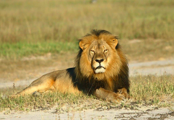 Cecil the Lion was killed in 2015 (Picture: Rex)