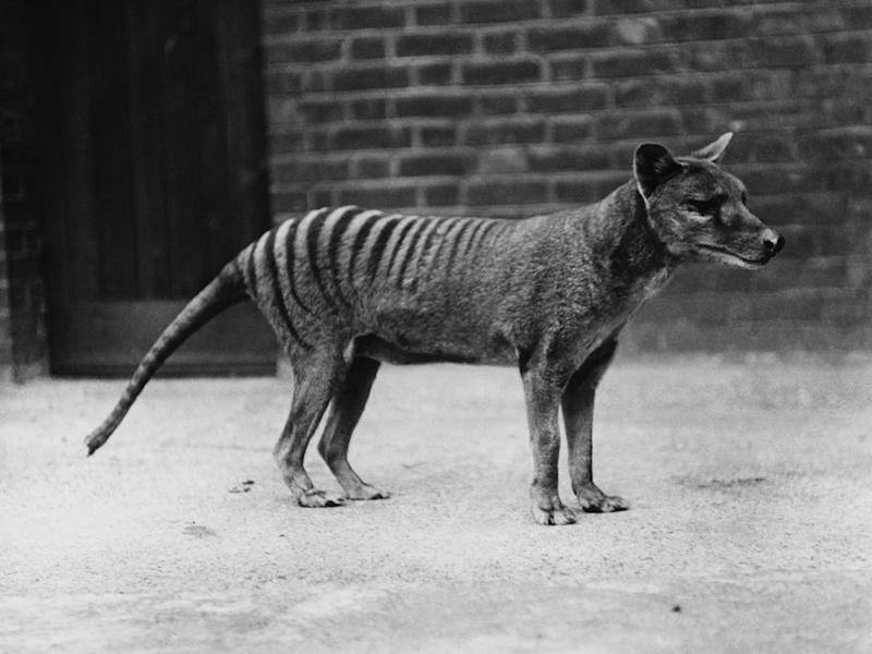 A tiger in captivity in Hobart Zoo, Tasmania (Popperfoto/Getty Images)