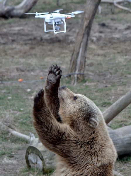 A brown bear reacts to a quadrocopter drone launched by a visitor at a shelter for bears rescued from circuses and private restaurants of Ukraine, near Zhytomyr