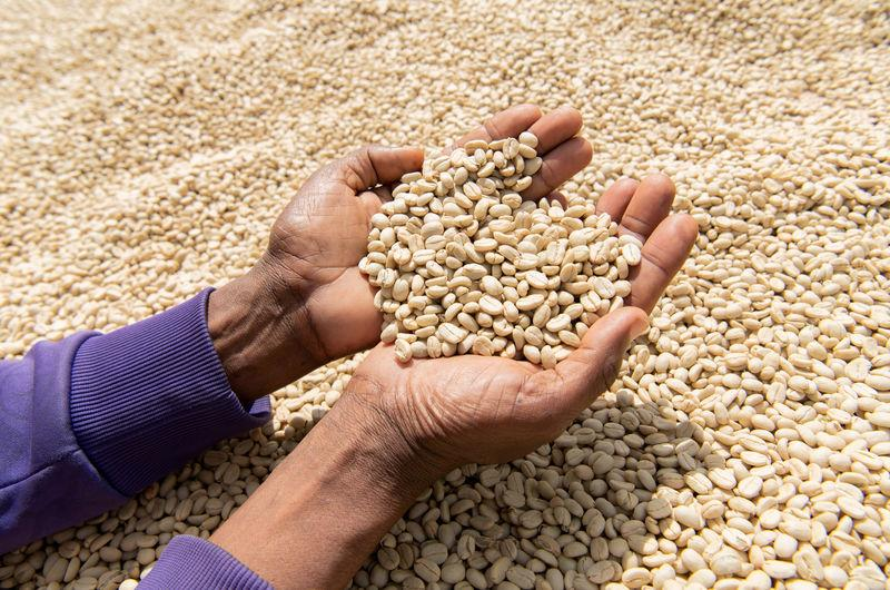FILE PHOTO: A worker displays washed and fermented coffee beans as they dry on coffee beds at the Tilamo cooperative of Shebedino district in Sidama