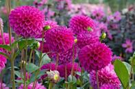 """<p>These beautiful flowers bloom just as the rest of your garden in winding down in late summer. Some have blooms up to 10 inches across, so they're real showstoppers in borders. Needs full sun.</p><p>Varieties to try: Fleural, Pot Luck</p><p><a class=""""link rapid-noclick-resp"""" href=""""https://go.redirectingat.com?id=74968X1596630&url=https%3A%2F%2Fwww.brecks.com%2Fproduct%2Fnatal-dahlia%3Fp%3D0729246%26gclid%3DCjwKCAjw9MuCBhBUEiwAbDZ-7qPRchvzM_C6cBYF9an6Kl8x3i8qVOktK7dJh1OIwRVuxNA2ARQq0xoCafIQAvD_BwE&sref=https%3A%2F%2Fwww.housebeautiful.com%2Fentertaining%2Fflower-arrangements%2Fg2411%2Fpopular-flowers-summer%2F"""" rel=""""nofollow noopener"""" target=""""_blank"""" data-ylk=""""slk:SHOP NOW"""">SHOP NOW</a></p>"""