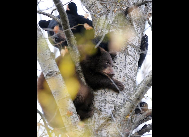 A mother black bear and one of her four cubs take refuge in a tree near U.S. 93 just south of Whitefish, Mont., early Monday, Oct. 17, 2011. The five bears quickly drew a crowd as both sides of the highway were lined with parked cars and people stopping to take photos. (AP Photo/Daily Inter Lake, Brenda Ahearn)