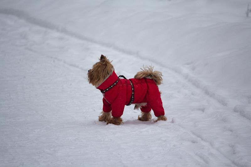 Little purebred dog in clothes walks in winter park