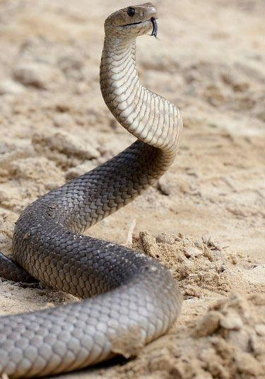 Eastern Brown snakes are know to utilise man-made cover like pipes and plastic covers. Photo: Getty