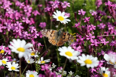 A painted lady butterfly sits on a flower in a field at the village of Mrouj, Lebanon April 13, 2019.  REUTERS/Mohamed Azakir