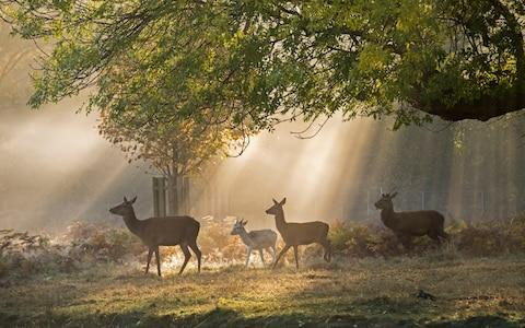 Deer walking in Richmond Park - Credit: Paul Grover