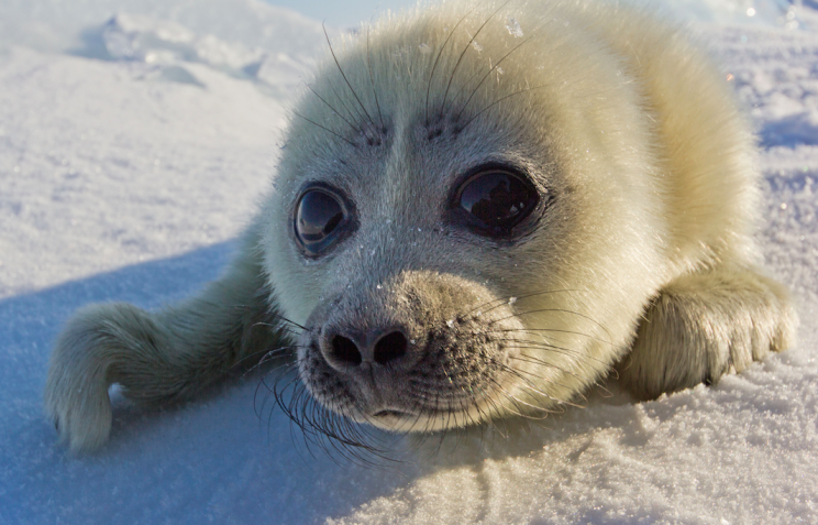 Cute: The adorable seal pup made the photographer feel welcome (Caters)