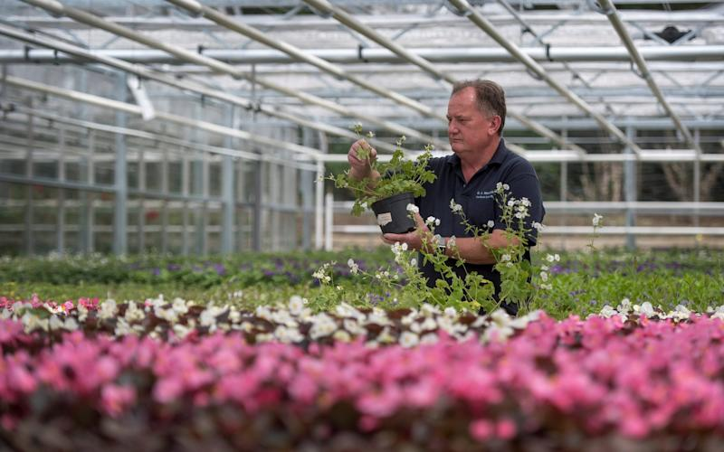 Nursery manager Mike Jones inspects Dusky Cranesbill geraniums at the Royal Parks Nursery in Hyde Park, London - REUTERS