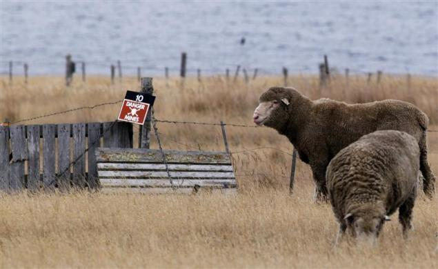Sheep are seen in a minefield in Goose Green, west of Port Stanley, March 16, 2012.