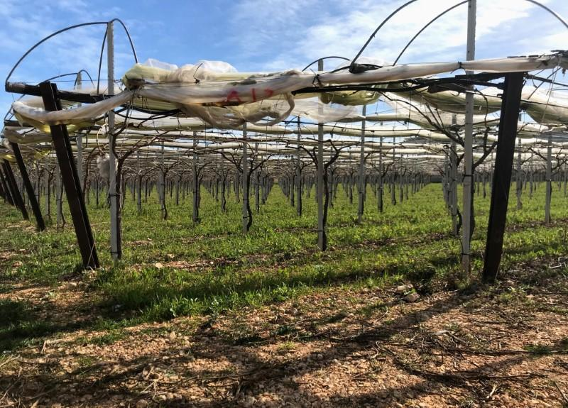 Grape vines for the Italia variety of grape are seen in Noicattaro, a major area of grape production in the southern Italian region of Puglia, Italy