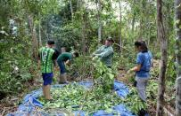 Researchers break down a tree to measure its carbon levels on a parcel of Amazon rainforest in Itapua do Oeste