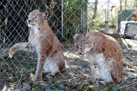 FILE PHOTO: Siberian lynx sit in their cage in the aftermath of Hurricane Michael at the Bear Creek Feline Center in Panama City, Florida, U.S., October 12, 2018. REUTERS/Terray Sylvester/File Photo