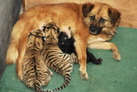 A dog feeds a Siberian Tiger cub inside a box at a zoo in Qingdao