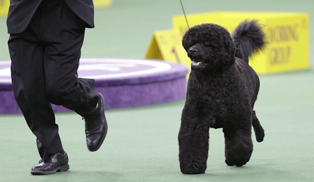 Matisse, a Portuguese water dog, competes in the working group during the Westminster Kennel Club dog show, Tuesday, Feb. 11, 2014, in New York. Matisse won the group. (AP Photo/Frank Franklin II)