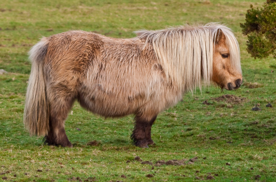 <em>Police are hunting for the killers of a Shetland pony that had been struck on the head with a blunt weapon (Wikipedia/file pic)</em>