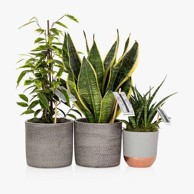 John Lewis The Little Botanical Purifying Plant Bundle - John Lewis