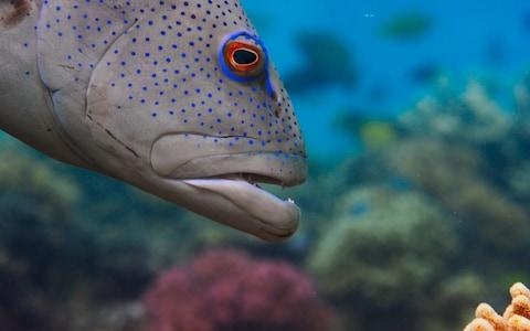 The grouper first spots where the little fish has hidden then informs the octopus - Credit: BBC
