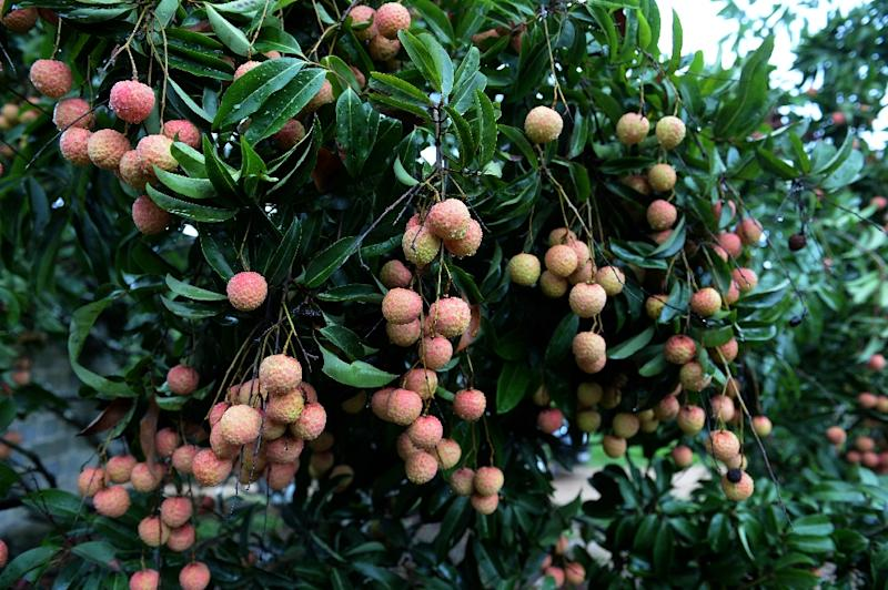 The Indian Encephalitis outbreak has been linked to a toxin found in lychees, which grow abundantly in Muzaffarpur