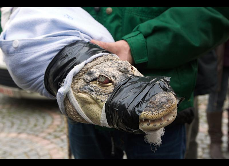 A man holds a crocodile with tape around its mouth, as workers from the Natuurhulpcentrum, a wildlife rehabilitation center, collect several crocodiles at a villa in Lapscheure, near the Dutch border, on Dec. 22, 2011. Police discovered eleven Nile crocodiles and one alligator (all alive) in a villa rented by a German man, Rolf D., during an investigation into financial fraud.