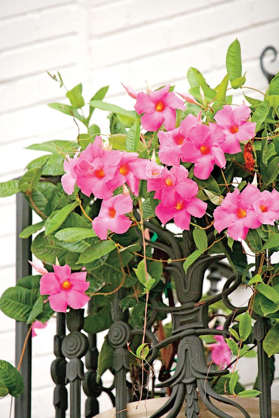 """<p>Let <a href=""""https://www.southernliving.com/home-garden/gardens/mighty-fine-vine-mandevilla"""" rel=""""nofollow noopener"""" target=""""_blank"""" data-ylk=""""slk:Mandevilla get its footing in the spring"""" class=""""link rapid-noclick-resp"""">Mandevilla get its footing in the spring</a> and then watch this climber erupt in blooms until frost. They thrive in the warm and humid Coastal and Tropical South, but they can be brought inside during the winter months or given an annual role elsewhere. They should avoid peak afternoon sun, but otherwise can hang in full or partial sun. They also make an excellent cover for trellises and fences.</p>"""