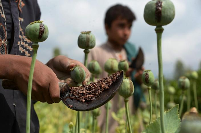 Afghan farmers use hand tools with curved blades to scrape opium gum from poppies in a field