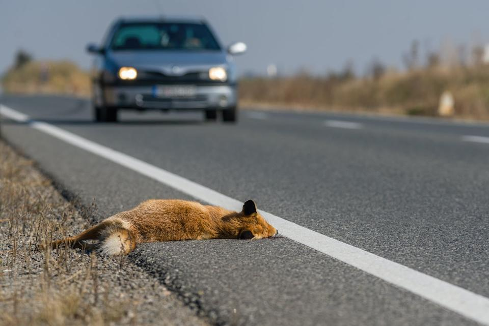 A dead fox at the side of the road with a car approaching