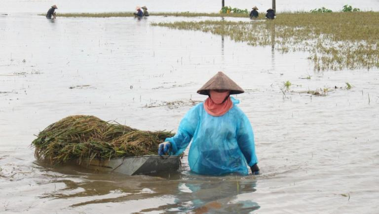A farmer pulls a boat loaded with harvested paddy on a flooded rice field in the northern province of Ha Nam on October 12, 2017