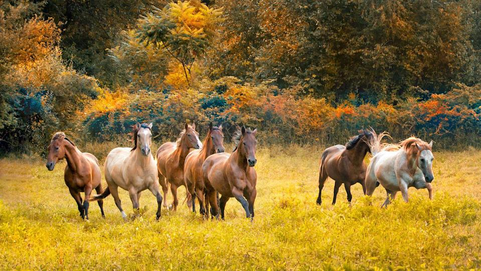 """<p>New Jersey loves its horses! The state has <a href=""""https://www.state.nj.us/nj/about/things.html"""" rel=""""nofollow noopener"""" target=""""_blank"""" data-ylk=""""slk:more horses per square mile"""" class=""""link rapid-noclick-resp"""">more horses per square mile</a> than any of the other 49 states, which is probably why the United States Equestrian Team is based in Gladstone, New Jersey.</p>"""