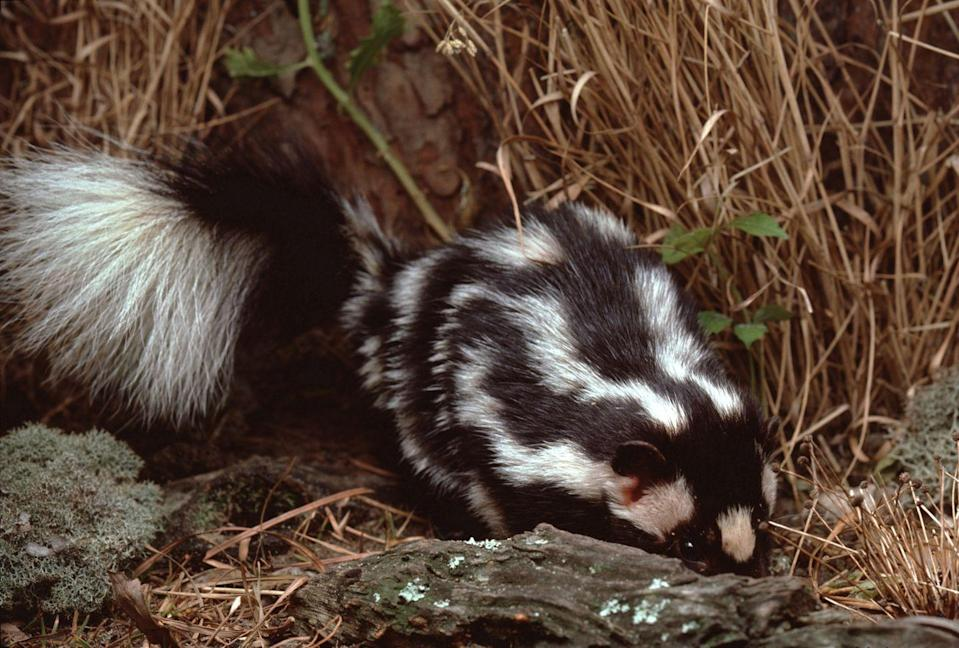 <p><strong>Eastern Spotted Skunk - </strong>Once commonly found in the Ozark Highlands, its decline can be attributed to loss of habitat by farming practices and expansion. </p>