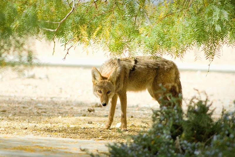 Camp Lejeune Marines Warned to Stop Running in the Dark After 4 Coyote Attacks