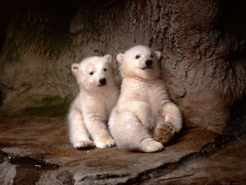 Photo, Two polar bear cubs sitting on the ground