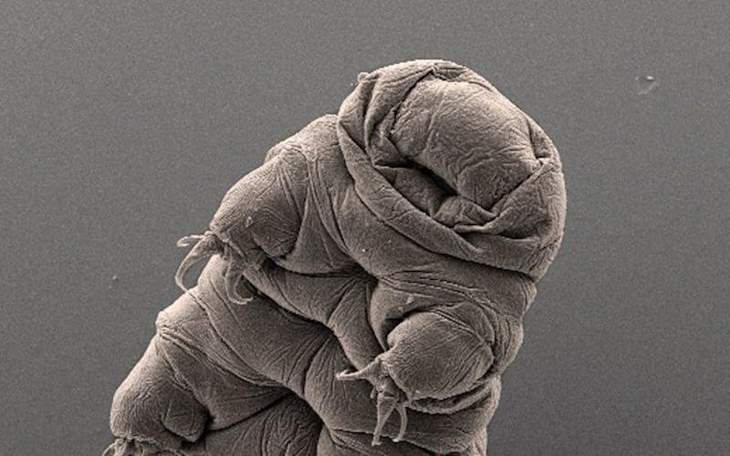 Introducing the tardigrade - AP Photo/Bob Goldstein & Vicki Madden, UNC Chapel Hill
