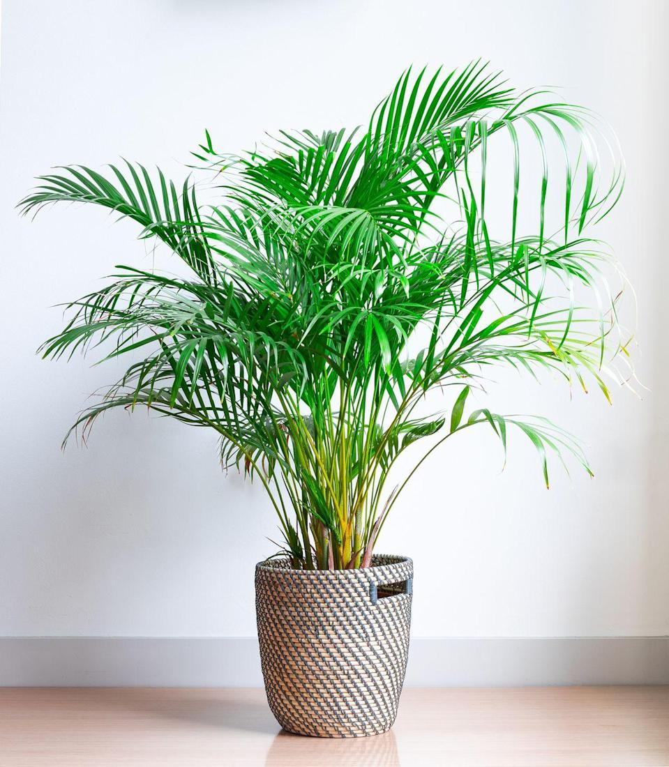 "<p>This is a big houseplant with a big love of humidity so does well in a large, sunny bathroom. Moisture in the air, like that in a bathroom, helps to keep the leaves green and fresh. </p><p><a class=""link rapid-noclick-resp"" href=""https://www.patchplants.com/gb/en/plants/parlour-palm-27/"" rel=""nofollow noopener"" target=""_blank"" data-ylk=""slk:BUY NOW"">BUY NOW</a></p>"