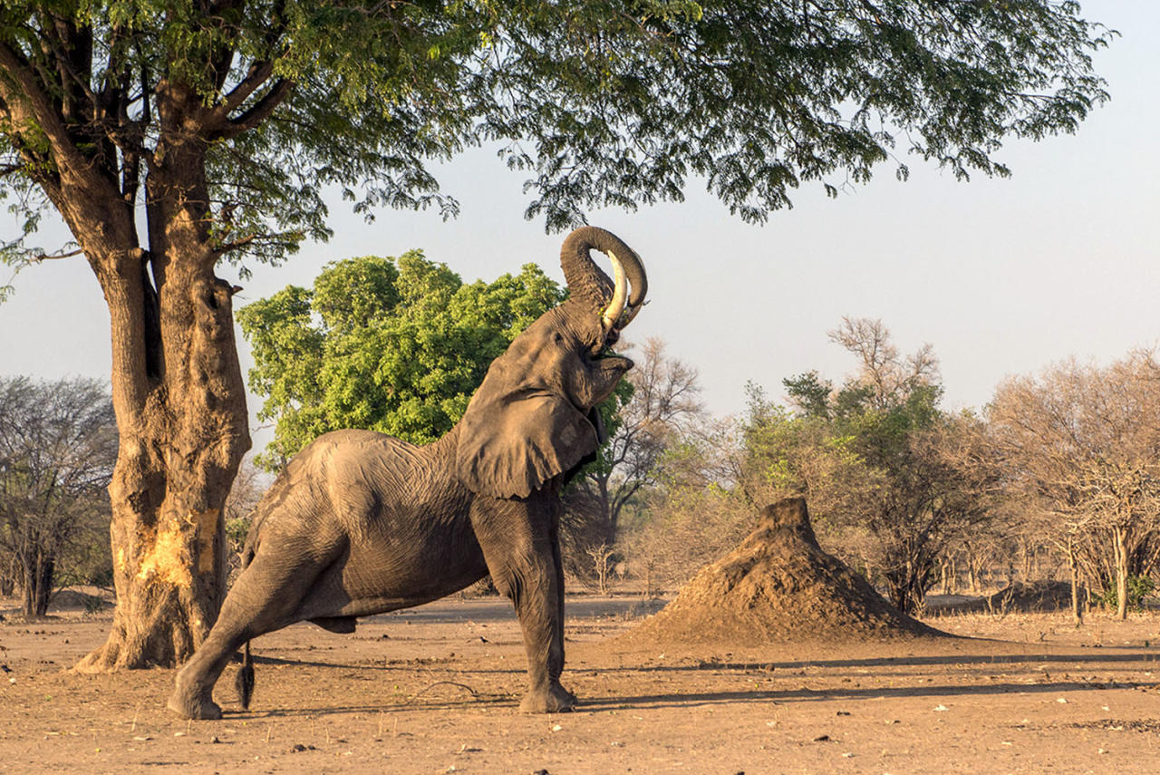 <p>A gigantic elephant stretches into yoga poses in Zimbabwe. (Photo: Ana Zinger/Caters News) </p>