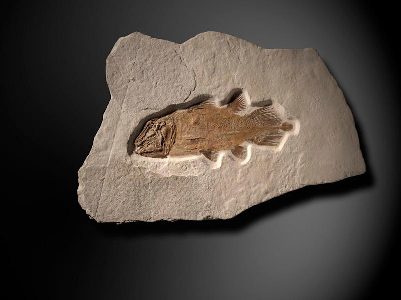 Jurassic-era fossil of 'Lazarus' fish expected to fetch £50,000 at auction