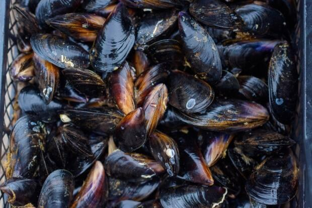 The B.C. Centre for Disease Control says many people who fell sick with Vibrio illness had harvested their own shellfish. (Shutterstock - image credit)