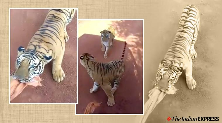 raipur safari, tiger chase tourist bus, tiger tourist bus encounter, tiger safari vehicke chase, viral video, indian express