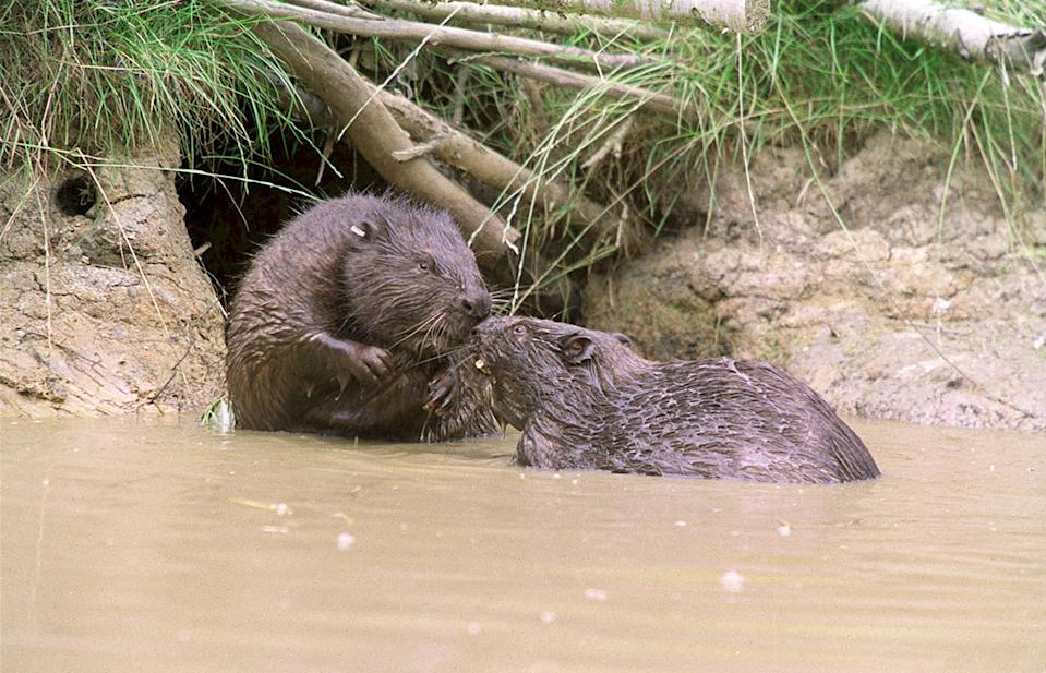 Two beavers in the water