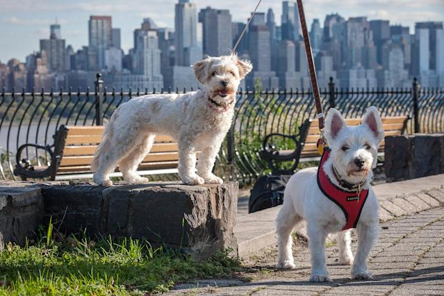 <p>West Highland White Terriers in New Jersey walk every day with a view of Manhattan. They look across the Hudson River at New Yorkers with only a view of New Jersey. (Photo: Mark McQueen/Caters News) </p>
