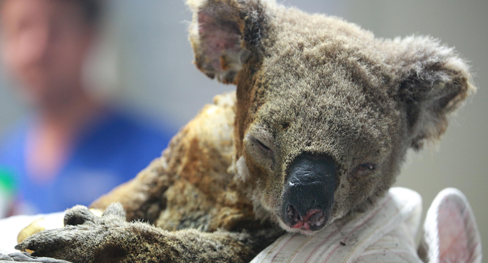 A badly burnt koala which survived the bushfires.
