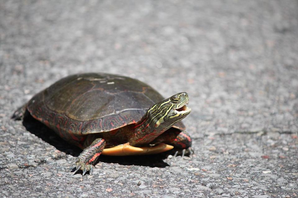 Painted turtle - Nature Conservancy of Canada